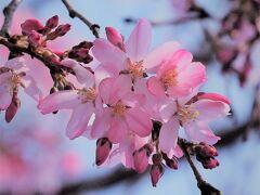 谷中/自性院の枝垂桜/3月17日 東京に開花宣言が出て3日目。エドヒガンのような可愛い枝垂桜が咲き始めていました。 この日はご近所のソメイヨシノも枝先からチラホラ咲き始めていましたが、まだまだです。