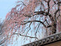 上野寛永寺の枝垂桜/3月17日 こちらのは淡いピンクです。 塀の瓦の御紋が三つ葉葵なんですよ♪