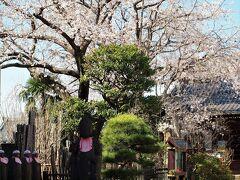 谷中・多寶院境内の桜/3月23日