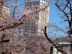 谷中霊園の桜並木/3月23日 開花状況は上野公園と同じような感じです。