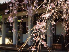 谷中天王寺本堂と枝垂桜/3月23日 本堂脇の桜は小さな一重の枝垂れ桜です。