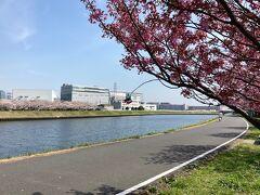 食事を終えて鶴見川河畔に来ました。 手前には横浜緋桜、対岸にはソメイヨシノが満開でした。 気持ちいい土曜の午前中でした。