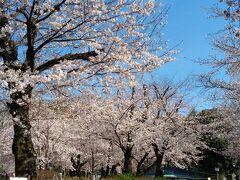 飛鳥山の桜1