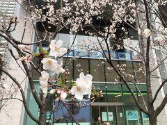 西新橋スクエア前のサクラ。 都心は開花が早いですねぇ。