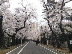 谷中霊園の桜並木。 三崎坂を上って左側です