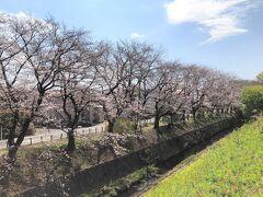 南に行くにつれて、桜の木が増えてきました。 このあたりからは、河岸が遊歩道になっています。