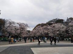 上野恩賜公園。 天気が悪いせいもあり、桜がちっとも綺麗に見えません