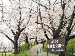 いよいよ、桜が咲き誇る「権現堂公園」へ☆