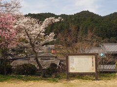 柳生本陣跡 桜がきれいだった
