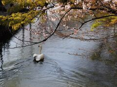 大原技術館を出てすぐの、倉敷川にかかる今橋の上流の短い水路には大きな白鳥が悠々と泳いでいる。今橋の下にネットがはってあって、下流には行けなくしてあるようだ。橋の下に隠れていることも多いようだ。その白鳥が泳ぐ姿に桜の花の枝がしな垂れて美しい情景を醸し出している。