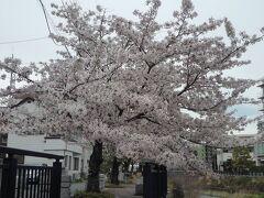 夕食まで時間があるので松川遊歩道の桜並木を散歩しました。
