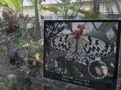 石垣空港の中に、大ゴマダラの展示飼育スペースがあります。