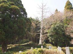 旧柳生藩家老屋敷を見学したあと 十兵衛杉を観にいった  十兵衛が植えたとされるこの杉は落雷により枯れたらしいが それでも、白くなってしまった巨木は今でも充分に存在感を示している