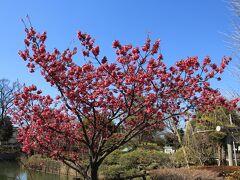 食後もう少し散歩して碑文谷公園へ。 こちらの寒緋桜は満開