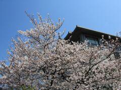 安養院の境内の桜も満開
