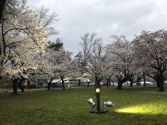 駿府城公園  本丸御殿跡の芝生公園の桜もライトアップ  まだ周りは明るい