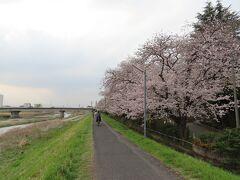 浅川沿いにある桜並木、満開です