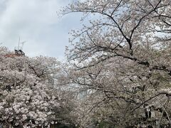 目黒川の桜です。