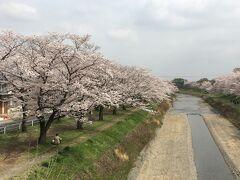 南浅川沿いの陵南公園の桜も満開です。