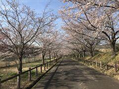 3月23日に柏市のあけぼの農業公園に行ったのに何故か写真を1枚も撮っていなかった。ガーン!  3月24日。さくらの山公園。 成田空港に隣接した公園。桜並木もさることながら…。