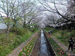 江川せせらぎ緑道に着きました.鴨居駅からおよそ40分ほどの歩きでした.  小川の水は下水処理場の高度処理水だが,綺麗とのことです.  緑道には1kmに渡っておよそ200本の桜の木と,地元の人によりおよそ1万5千本のチューリップが植えられています.