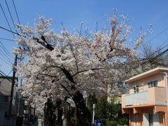 立会川緑道の桜並木を歩き碑文谷八幡宮に向かいます