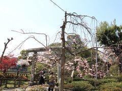 神社前の紅枝垂桜は咲き始めたところ