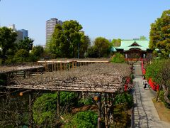 亀戸天神はすでに梅の季節が終わり、藤棚にはつぼみが膨らみ始めていました。