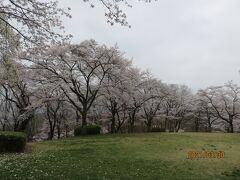 お寺の横の広場にある桜も満開。