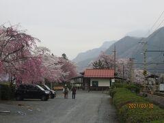 荒川に沿って走る秩父鉄道の武州日野駅に咲く桜並木。素朴な駅舎を囲むように桜が咲き誇っていました。背後には武甲山の山影も見えています。