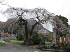 清雲寺から車でさらに数分のところの長泉院には、入り口のところに一本のしだれ桜があり、よみがえりの一本桜と呼ばれています。以前大きな杉の木の陰で樹勢が衰えて枯れそうになっていたところ、ダム工事でこの杉が伐採された後は、見事によみがえったことからこう名付けられたのだとか。