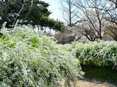 京都府立植物園 http://www.pref.kyoto.jp/plant/  私的にはこっちが目的だったんだけど、名画の庭なんてのがあることを直前に知ってお隣なので寄ってみたのだ。  さて、こちらは府立植物園。 まず目に入ったのはわさわさと咲く雪柳の道。綺麗だぁ~