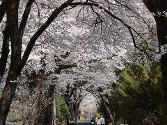 5年ぶりの満開の眞原の桜並木