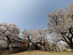 残念ながら、神代桜は少し寂しい