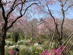 桜以外(ボケ、雪柳)も色とりどりの花が頭上から足元まで咲き乱れていました。 きっちりとお手入れされている感があるのに、妙な緊張を感じさせないほんわか出来る場所。ちょうどお昼頃でしたが訪れているのは少人数で数組だけ。広い(4万坪)ので密集もなく安心して散策できました。