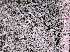 桜の花びらが落ちて水に浮かぶ
