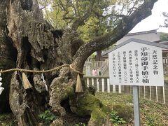 大山祇神社にある樹齢2600年の楠