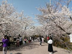 桜の回廊。