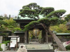 次の目的地は長谷寺。明月院とともにあじさいで有名なお寺でもありますがもちろんこの時期にはあじさいはありません。 しかしながら「花の寺」とも称されるだけあり、一年中何かしらの花を楽しめるスポットでもあります。やはりこの時期は桜が見事。