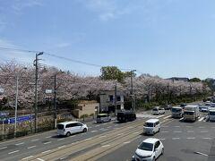 明治通り沿いにも満開の桜が並んでいます。