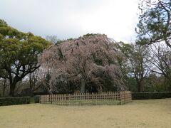 御所のしだれ桜。満開です。