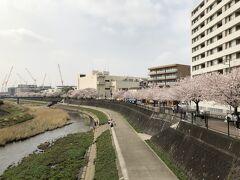 柏尾川桜並木