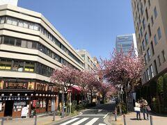 国道133号線、本町通を歩いて、関内へ。 途中、関内桜通り。
