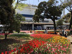 横浜スタジアムに隣接している横浜公園。 横浜公園は、チューリップまつりです。