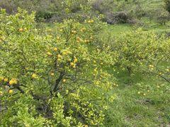生口島はレモンの木がたくさんあった。