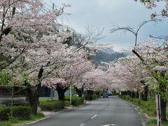 車道の両脇には歩道が整備されているので安心して桜を鑑賞できます