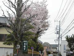町田との市境にある泉龍寺。こちらの桜もきれいでした。