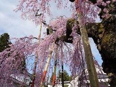 妙関寺の山門を入ると、目の前に艶やかな紅色の枝垂桜があった。 樹齢約400年と言う古木で、伊達政宗が徳川将軍家に献上した桜を、当時の住職が分けてもらったものらしい。 乙姫桜と名付けられている。