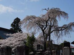 土塁跡と空堀跡の向いには、妙徳寺と言う寺院がある。 その境内にも、源清桜と言う背の高い桜があった。 慶長年間に、この寺を創建した際に植えられたものらしい。 薄墨色の花だとされるが、確かに、脇に立つ桜より黒ずんで見える。