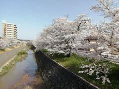 だんだんと桜の木が多くなってきました。